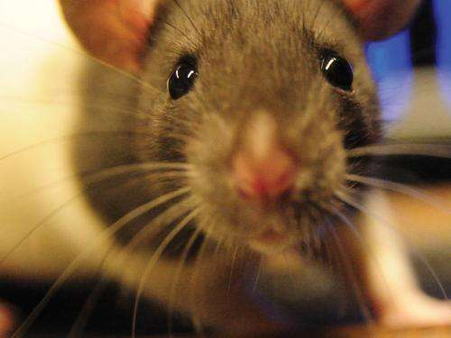 Rats have a double view of the world
