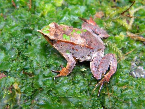 The last croak for Darwin's frog