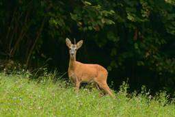 Roe deer more likely to be run over at nightfall on a Sunday in April