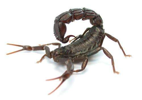 Scorpions use strongest defense mechanisms when under attack