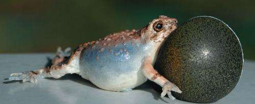 Share robotic frogs help turn a boring mating call into a serenade