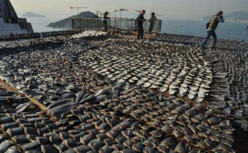 Shark fins drying in the sun cover the roof of a factory building in Hong Kong on  January 2, 2013