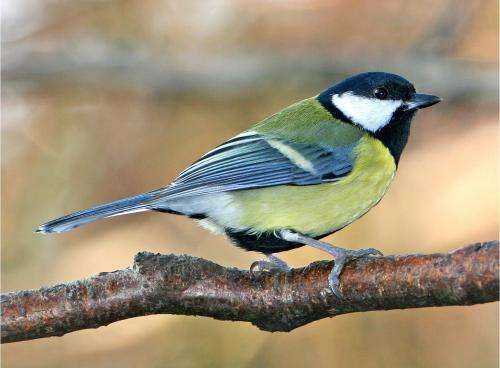 'Shy' male birds flock together -- and have fewer friends
