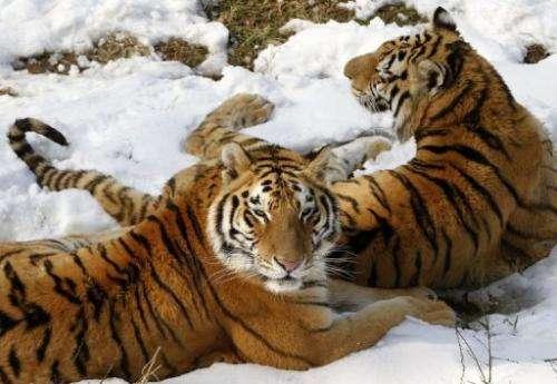 Siberian tigers in a zoo in Nanjing, east China's Jiangsu province, February 19, 2013