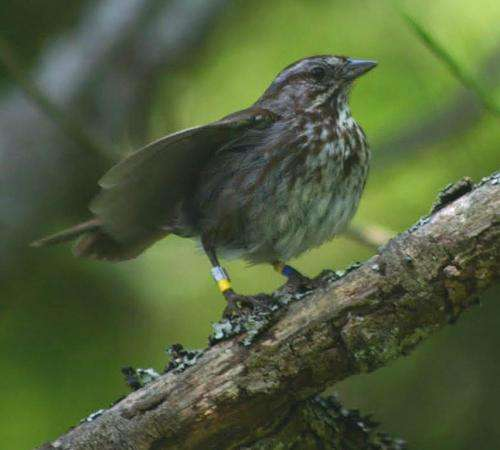 Signalers vs. strong silent types: Sparrows exude personalities during fights