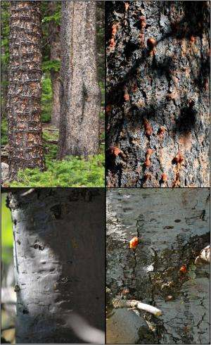 Slippery bark protects trees from pine beetle attack, according to CU-Boulder study