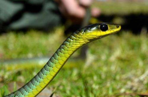 Snake handler Andrew Melrose holds a green tree snake recovered from a house in Sydney on August 5, 2013