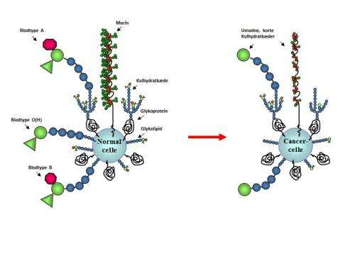 Specific sugar molecule causes growth of cancer cells