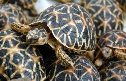 Star tortoises are pictured at the Nehru Zoological park in Hyderabad on July 4, 2007