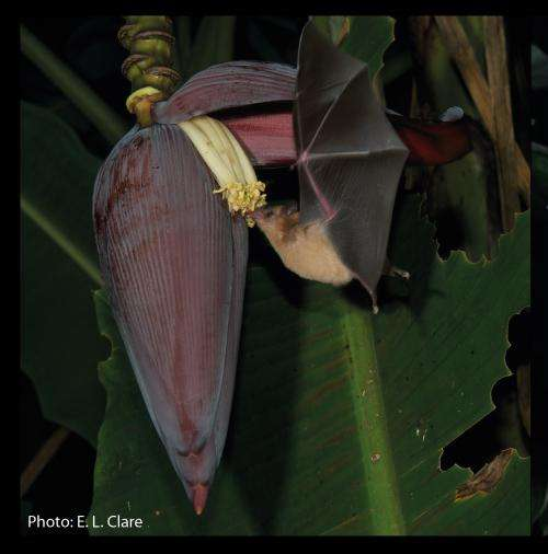 Stealth maneuver allows nectar bats to target insect prey
