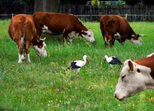Storks stand next to cows on a meadow near Warsaw on August 18, 2013