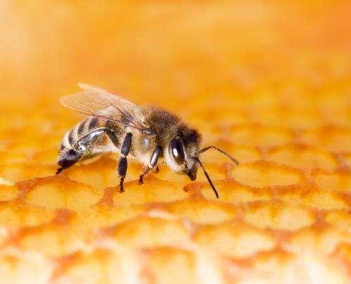 Study finds honeybee venom triggers immune response