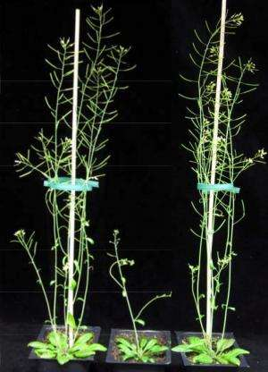 Swords to plowshares: Engineering plants for more biofuel sugars