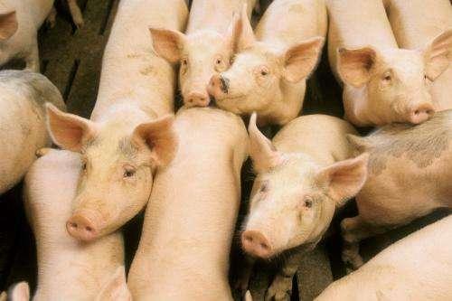 Taking aim at deadly swine diseases