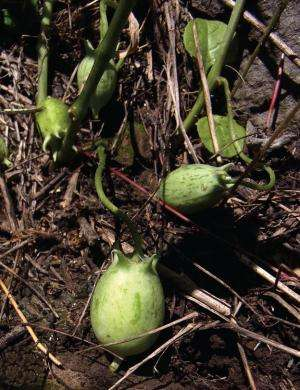 The closest relatives of papaya are 4 species from Mexico and Guatemala