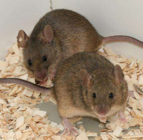 The more the merrier: Promiscuity in mice is a matter of free choice
