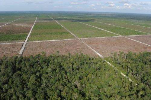 The remaining rainforest treeline next to a palm oil plantation over in Central Kalimantan province on June 7, 2012