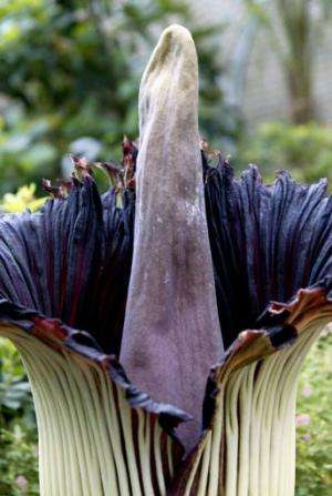 "The Titan Arum is known as the ""corpse flower"" in Indonesia where it was first found"