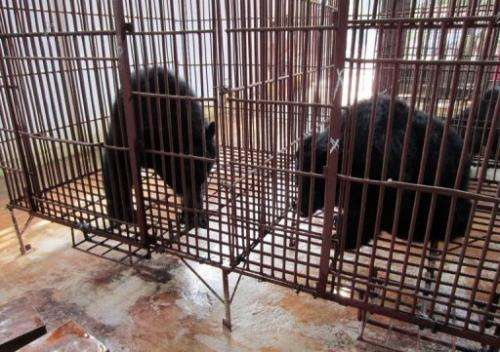 This picture provided by Animals Asia and taken November 29, 2011 shows Asiatic black bears inside a cage in Vietnam