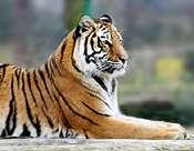 Tiger, tiger, not burning so bright