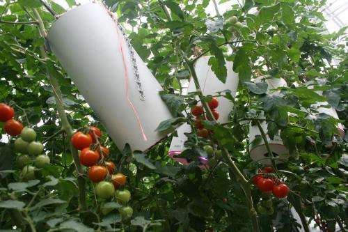 Tomatoes with extra vitamin C via LED lamps
