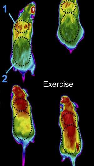 Tweaking energy consumption to combat muscle wasting and obesity