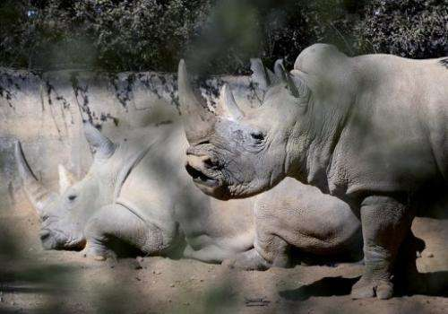 Two white rhinos at Johannesburg Zoo on July 25, 2013