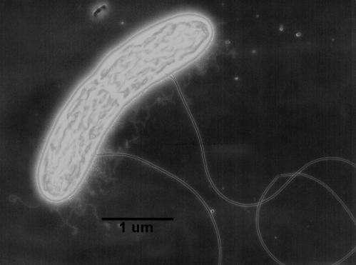 UMass Amherst researchers reveal mechanism of novel biological electron transfer