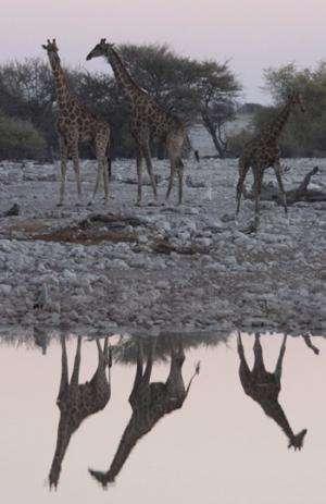 UQ examines the social networks of wild giraffes