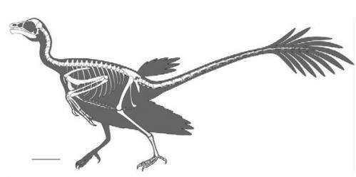New analysis of fossils reveal ancient bird had two tails
