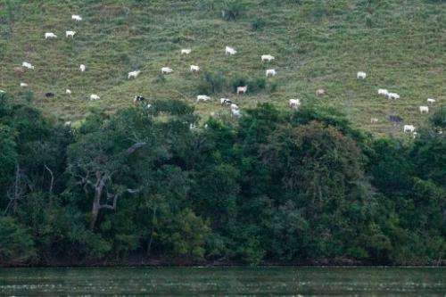 White cattle spread on pastures cultivated in the rainforest next to the Xingu river on August 7, 2013