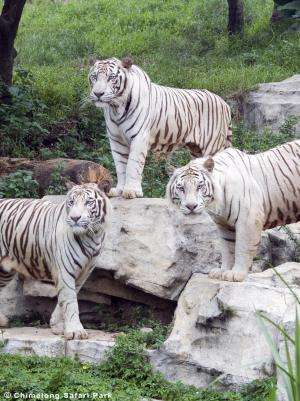 White tiger mystery solved