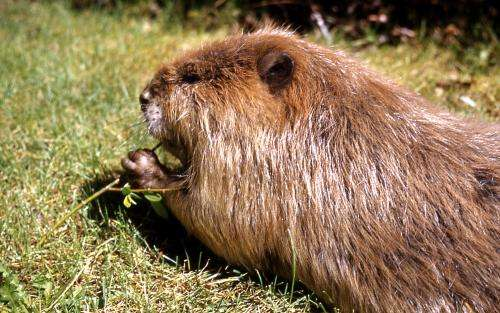 Yellowstone ecosystem needs wolves and willows, elk and... beavers?