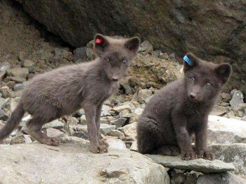 You are what (and where) you eat: Mercury pollution threatens Arctic foxes