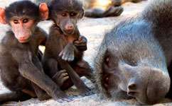 Young baboons that spend time with their fathers get better meals and reach sexual maturity sooner, scientists say