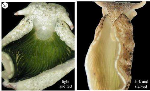 """Study shows """"solar powered"""" sea slugs can survive long term in the dark"""