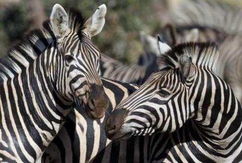 Zebras pictured in Kruger National Park in South Africa in June 2010