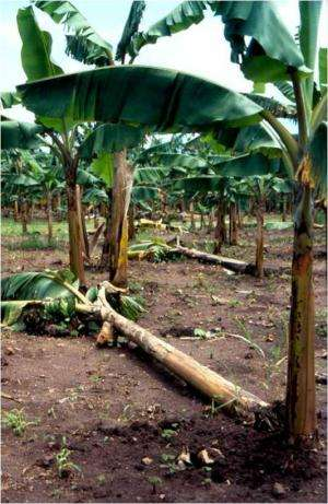 Banana plant fights off crop's invisible nemesis: Roundworms