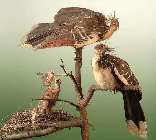 Did the South American Hoatzins originate in Europe?