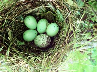 Egg colours make cuckoos masters of disguise