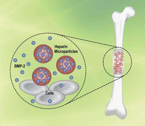 Engineering a better way to rebuild bone inside the body