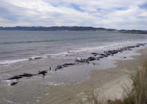 File photo taken on February 20, 2011 by New Zealand's Department of Conservation shows pilot whales stranded on a remote beach