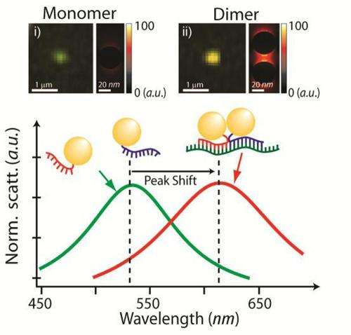 Gold nanoparticles help target, quantify breast cancer gene segments in a living cell