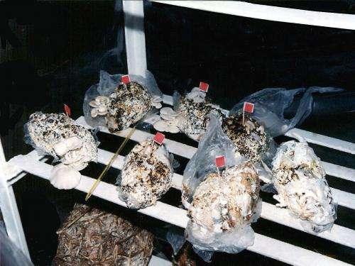 Growing mushrooms in diapers
