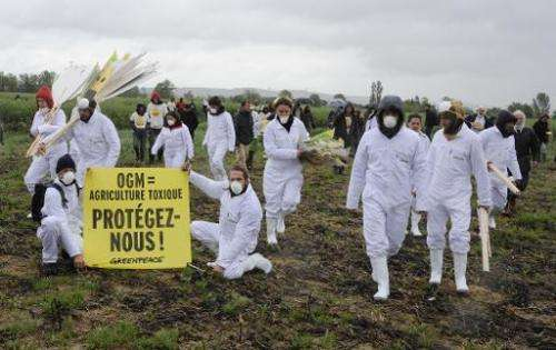 Hundreds of anti-GMO (Genetically Modified Organisms) activists and Greenpeace activists protest after uprooting genetically mod