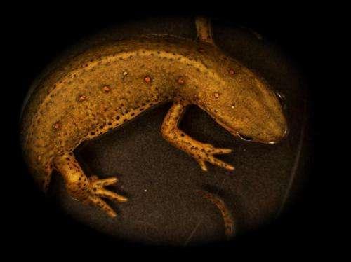 Limb regeneration: Do salamanders hold the key?