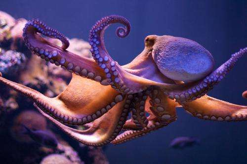 New ageing method boosts octopus research