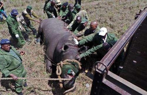 Officers from Kenya Wildlife Services (KWS) attend to a sedated black Rhinoceros at Nairobi national park on November 7, 2013 du