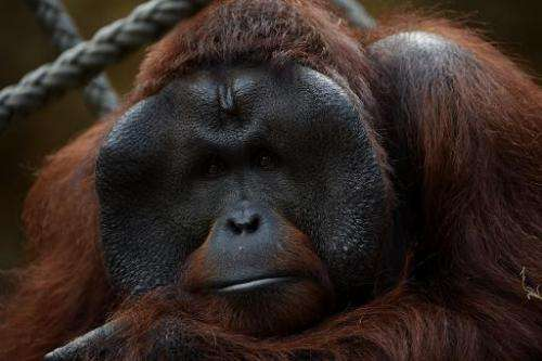 Orangutans are native to the vast island of Borneo, which is shared among Indonesia, Malaysia and Brunei