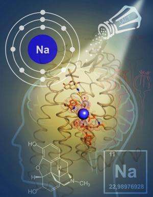 Scientists solve 40-year mystery of how sodium controls opioid brain signaling